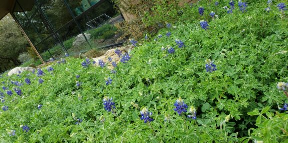 Bluebonnets outside the children's area